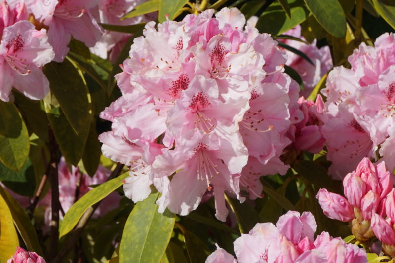 2018 - Rhododendron